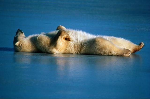 Bear sleeping ... auguri di un buon sonno...più o meno così...ciao dans animali grandi, grandi (wow!) bear_sleeping_on_back