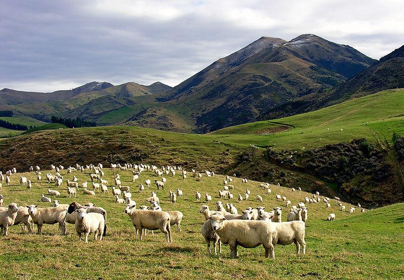 Китайцы инвестируют в завод по переработке овечьего молока в Новой Зеландии