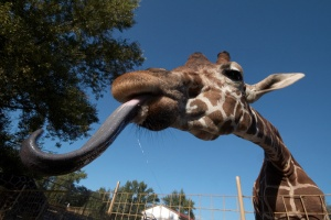 giraffe-tongue-jpg (1)