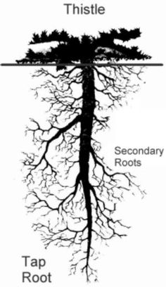 Difference Between Tap Root and Fibrous Root